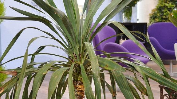 Die Krone einer Palme in der Nahaufnahme.