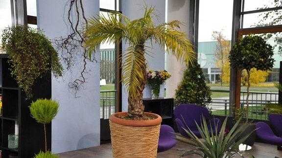 Auf einem Beistelltisch aus Eisen steht ein großer, brauner Blumentopf. Darin steht eine Palme mit dickem Stamm und vielen grün-gelben Blättern an der Krone.