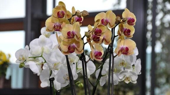 Orchideen-Blüten in der Nahaufnahme