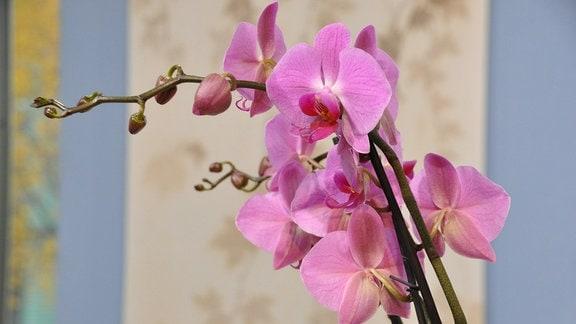 Rosafarbene Orchideen-Blüten in der Nahaufnahme.