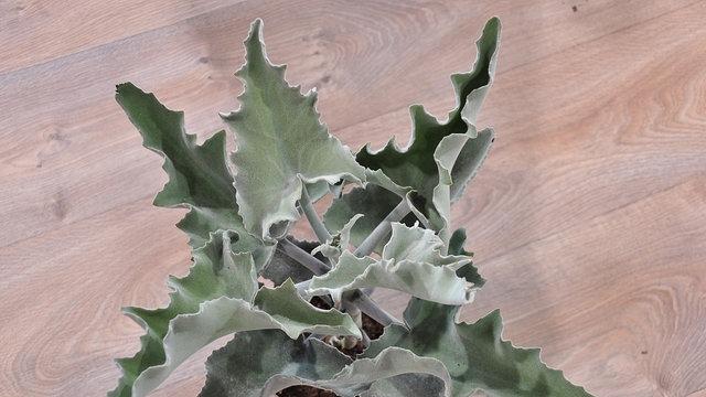 Pflanze Mit Großen Blättern zimmerpflanzen brigittes steckbriefe mdr de