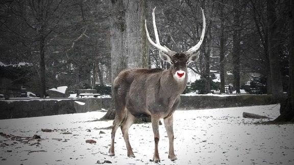 Rentier im winterlichen Zoo von Cleveland mit rot eingefärbter Nase
