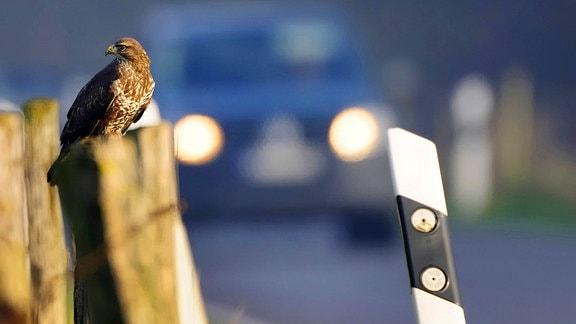 Mäusebussard, sitzend auf einem Zaunpfahl an einer Straße, Auto im Hintergrund.