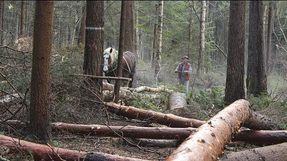 Ein Rückepferd und ein Waldarbeiter arbeiten zwischen gefällten Bäumen in einem Nadelwald.