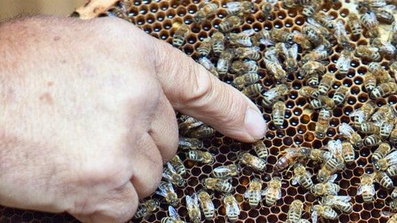 Imker zeigt mit Finger auf Bienenwabe.