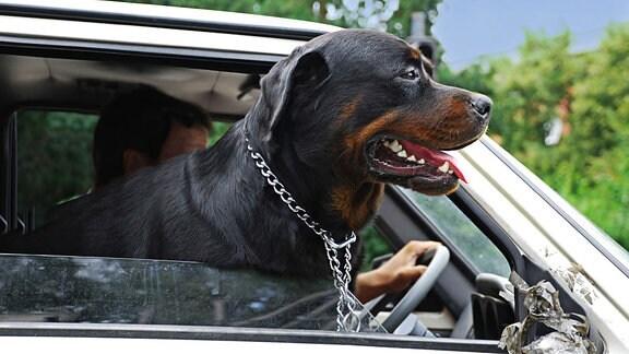 Ein Hund steckt seien Kopf aus einem Autofenster.