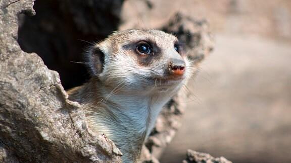 Tierpark-Gotha, ein Erdmännchen, das aus seiner Höhle schaut