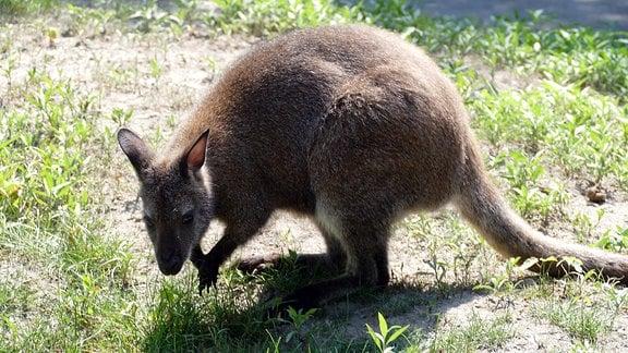 Känguru sitzt im Tierpark Hoyerswerda