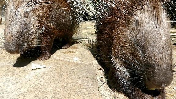 Stachelschweine essen bei Fütterung im Tierpark Görlitz