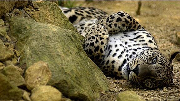 Leopard liegt auf dem Rücken und döst vor sich hin