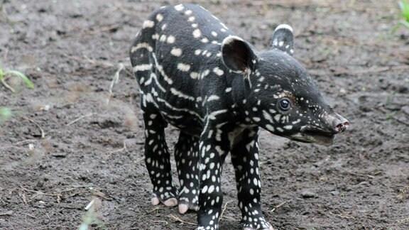 kleiner Tapir