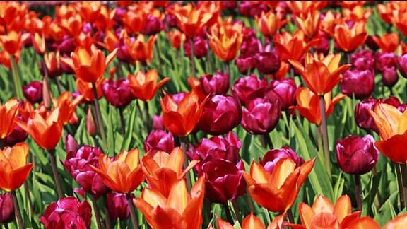 Tulpen auf einer Wiese