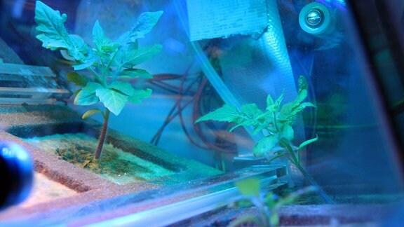 Tomatenzucht unter kontrollierten Bedingungen Eucropis