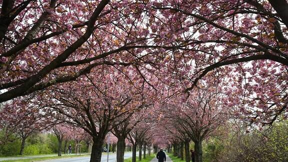 Kirschblüte auf dem Holzweg in Magdeburg