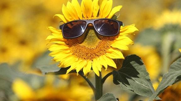 Eine Sonnenblume mit Sonnenbrille steht bei strahlendem Sonnenschein nahe Blankenburg.