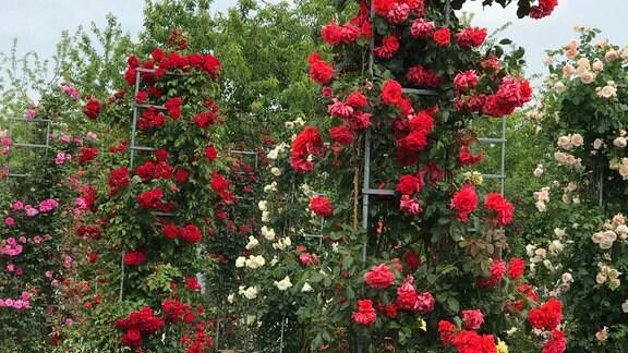 Rosen im Rosarium Sangerhausen