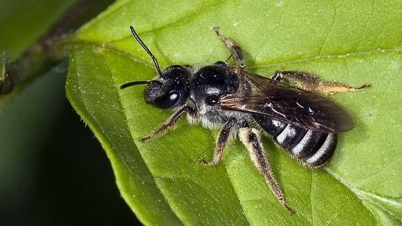 Eine Furchenbiene (Schmalbiene) sitzt auf einem Blatt