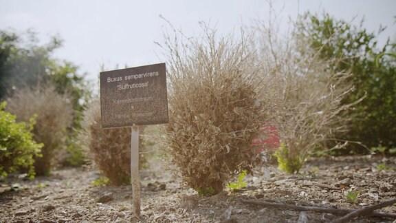 Kahl gefressener Buchsbaum
