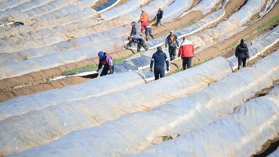 Erntehelfer arbeiten auf einem Feld