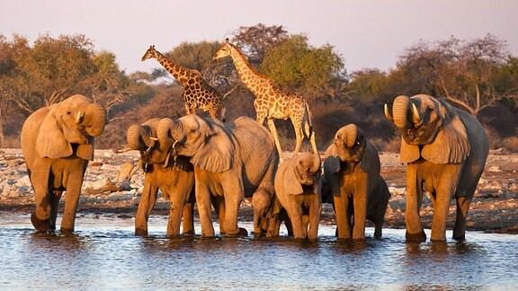 Elefanten und Giraffen im Etosha Nationalpark Namibia