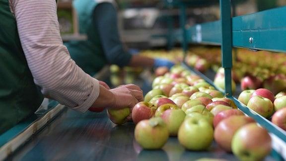 Arbeiterinnen sortieren Äpfel auf Fließband