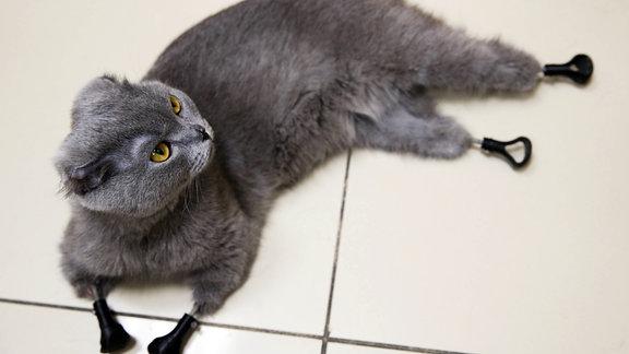 Russische Katze mit vier Prothesen