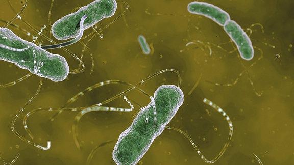 EHEC Bakterien