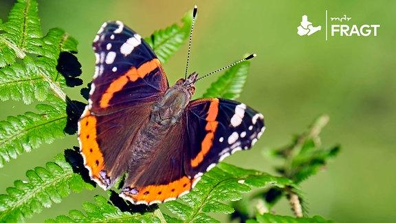Schmetterling auf Farnblatt