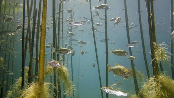 Fische im Ohrid-See