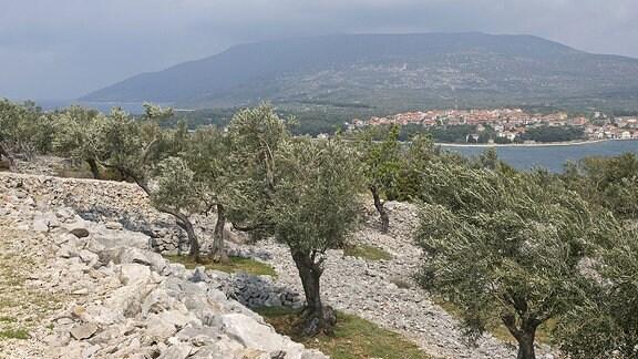 Olivenanbau auf der Insel Cres in Kroatien.