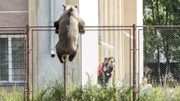 Ein Bär versucht über einen Zaun einer Schule zu klettern.
