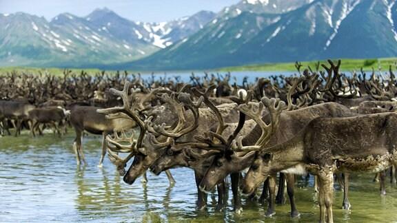 Eine Herde Rentiere am See