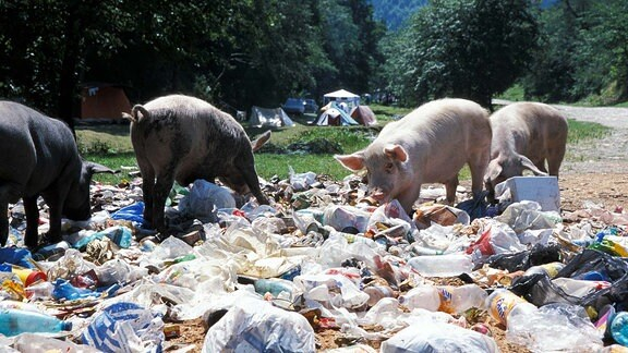 Schweine wühlen in Müll auf einer wilden Halde in Siebenbürgen
