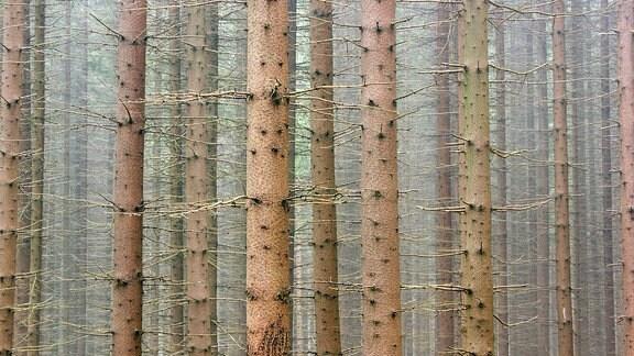 Fichtenwald, Naturschutzgebiet Jeseniky