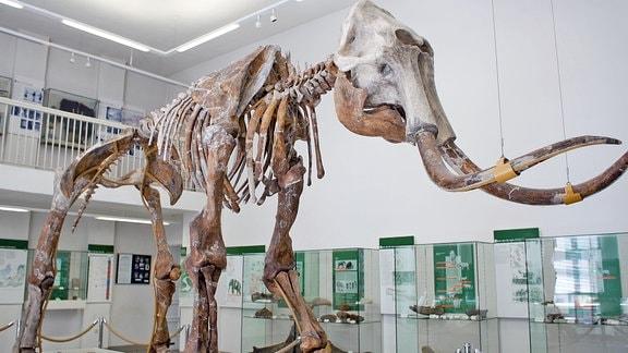 Mammutskelett im Sprenglermuseum Sangerhausen