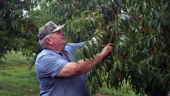 Pfirsichbauer Bill Bader untersucht seine Pfirsichbäume auf Schäden