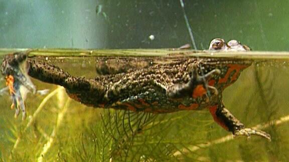 Ein Frosch schwimmt über die Wasseroberfläche.