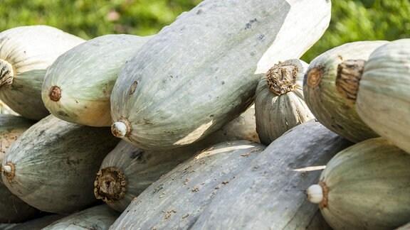 Speisekürbisse der Sorte Blue Banana