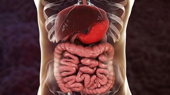 Organe im Ober- und Unterbauch.