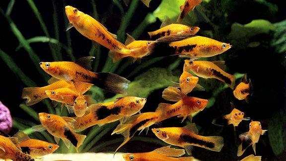 Aquarium - Tuxedo Swordtail Fish - xiphophorus helleri tuxedo