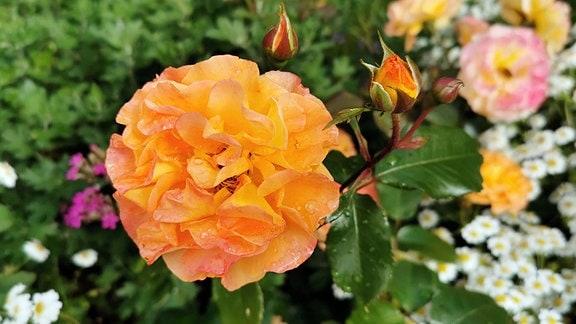 Vickys Gartenparadiese - Rosengarten