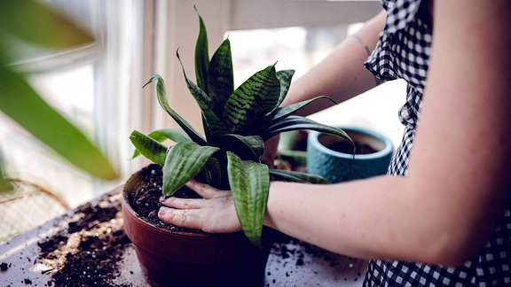 Zimmerpflanze - Umtopfen
