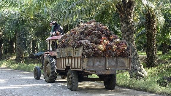 Früchte der ֖lpalmen werden mit einem Trecker abtransportiert.