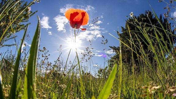 Mohnblume im Sonnenlicht