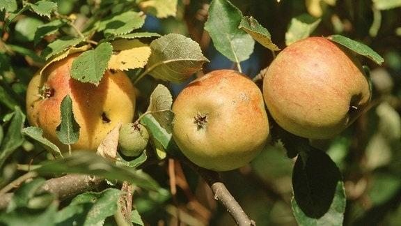 Äpfel der Sorte Cox Orange