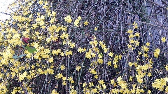 Eine gelb blühende Kletterpflanze