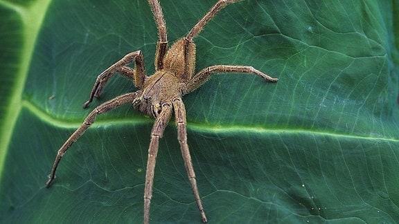 Brasilianische Wanderspinne (Phoneutria boliviensis), sitzt auf einem Blatt.