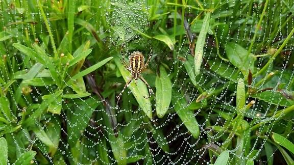 Eine braun-gelbe Spinne sitzt in ihrem von Tautropfen behangenem Netz