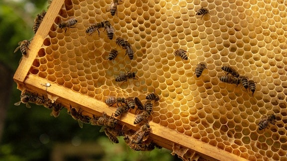 Bienen an einer Bienenwabe