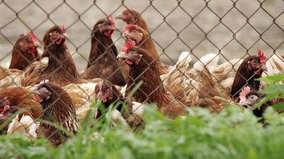 Hühner hinter einem Maschendrahtzaun